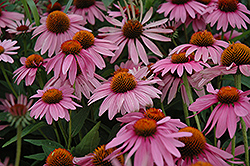 Magnus Coneflower (Echinacea purpurea 'Magnus') at Green Thumb Garden Centre