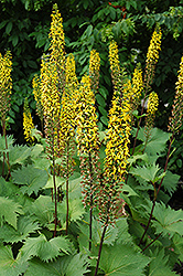 The Rocket Rayflower (Ligularia 'The Rocket') at Green Thumb Garden Centre