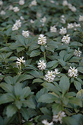 Japanese Spurge (Pachysandra terminalis) at Green Thumb Garden Centre