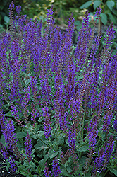 May Night Sage (Salvia x sylvestris 'May Night') at Green Thumb Garden Centre