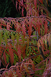 Tiger Eyes® Sumac (Rhus typhina 'Bailtiger') at Green Thumb Garden Centre