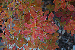 Rainbow Pillar Serviceberry (Amelanchier canadensis 'Glennform') at Green Thumb Garden Centre