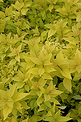 Goldmound Spirea (Spiraea japonica 'Goldmound') at Green Thumb Garden Centre