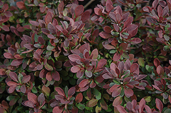 Royal Burgundy Japanese Barberry (Berberis thunbergii 'Gentry') at Green Thumb Garden Centre