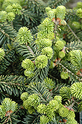 Dwarf Balsam Fir (Abies balsamea 'Nana') at Green Thumb Garden Centre