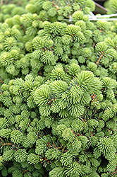 Little Gem Spruce (Picea abies 'Little Gem') at Green Thumb Garden Centre