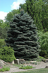 Fat Albert Blue Spruce (Picea pungens 'Fat Albert') at Green Thumb Garden Centre