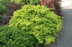 Golden Japanese Barberry (Berberis thunbergii 'Aurea') at Green Thumb Garden Centre