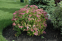 Goldflame Spirea (Spiraea x bumalda 'Goldflame') at Green Thumb Garden Centre