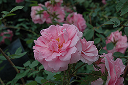 John Davis Rose (Rosa 'John Davis') at Green Thumb Garden Centre