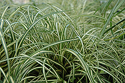 Evergold Variegated Japanese Sedge (Carex oshimensis 'Evergold') at Green Thumb Garden Centre