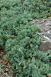 Blue Rug Juniper (Juniperus horizontalis 'Wiltonii') at Green Thumb Garden Centre