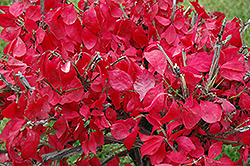 Compact Winged Burning Bush (Euonymus alatus 'Compactus') at Green Thumb Garden Centre