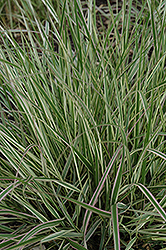 Variegated Reed Grass (Calamagrostis x acutiflora 'Overdam') at Green Thumb Garden Centre