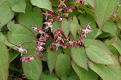 Bishop's Hat (Epimedium x rubrum) at Green Thumb Garden Centre