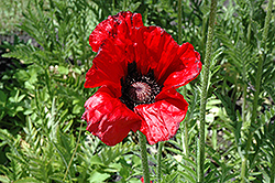 Beauty of Livermere Poppy (Papaver orientale 'Beauty of Livermere') at Green Thumb Garden Centre