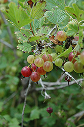 Pixwell Gooseberry (Ribes 'Pixwell') at Green Thumb Garden Centre
