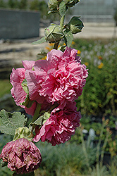 Chater's Double Pink Hollyhock (Alcea rosea 'Chater's Double Pink') at Green Thumb Garden Centre