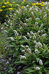 Gooseneck Loosestrife (Lysimachia clethroides) at Green Thumb Garden Centre