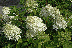 Little Lamb Hydrangea (Hydrangea paniculata 'Little Lamb') at Green Thumb Garden Centre