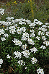 Purity Candytuft (Iberis sempervirens 'Purity') at Green Thumb Garden Centre