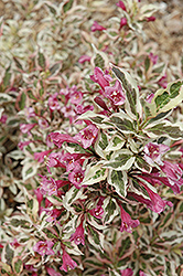 My Monet® Weigela (Weigela florida 'Verweig') at Green Thumb Garden Centre