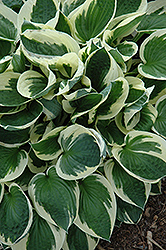 Patriot Hosta (Hosta 'Patriot') at Green Thumb Garden Centre