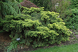 Saybrook Gold Juniper (Juniperus x media 'Saybrook Gold') at Green Thumb Garden Centre