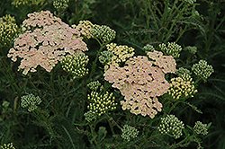Summer Pastels Yarrow (Achillea millefolium 'Summer Pastels') at Green Thumb Garden Centre