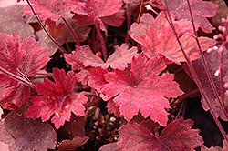 Sweet Tea Foamy Bells (Heucherella 'Sweet Tea') at Green Thumb Garden Centre