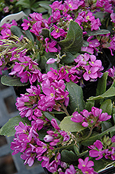 Spring Charm Rock Cress (Arabis 'Spring Charm') at Green Thumb Garden Centre