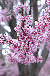 Eastern Redbud (Cercis canadensis) at Green Thumb Garden Centre