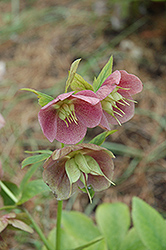 Pink Lady Hellebore (Helleborus 'Pink Lady') at Green Thumb Garden Centre