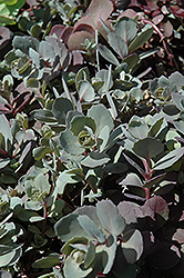 Dazzleberry Stonecrop (Sedum 'Dazzleberry') at Green Thumb Garden Centre