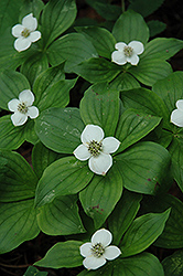 Bunchberry (Cornus canadensis) at Green Thumb Garden Centre