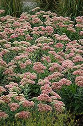 Autumn Joy Stonecrop (Sedum 'Autumn Joy') at Green Thumb Garden Centre