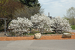 Royal Star Magnolia (Magnolia stellata 'Royal Star') at Green Thumb Garden Centre