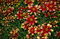 Route 66 Tickseed (Coreopsis verticillata 'Route 66') at Green Thumb Garden Centre