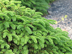 Birds Nest Spruce (Picea abies 'Nidiformis') at Green Thumb Garden Centre