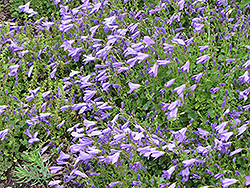 Birch Hybrid Bellflower (Campanula 'Birch Hybrid') at Green Thumb Garden Centre