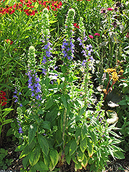 Blue Cardinal Flower (Lobelia siphilitica) at Green Thumb Garden Centre