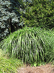 Malepartus Maiden Grass (Miscanthus sinensis 'Malepartus') at Green Thumb Garden Centre