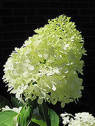 Limelight Hydrangea (Hydrangea paniculata 'Limelight') at Green Thumb Garden Centre