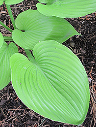 Sum and Substance Hosta (Hosta 'Sum and Substance') at Green Thumb Garden Centre