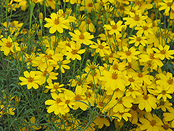 Zagreb Tickseed (Coreopsis verticillata 'Zagreb') at Green Thumb Garden Centre