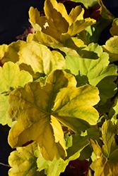 Northern Exposure™ Lime Coral Bells (Heuchera 'TNHEUNEL') at Green Thumb Garden Centre