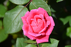 Pink Double Knock Out® Rose (Rosa 'Radtkopink') at Green Thumb Garden Centre