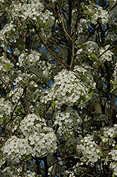Chanticleer Ornamental Pear (Pyrus calleryana 'Chanticleer') at Green Thumb Garden Centre