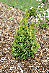 Green Mountain Boxwood (Buxus 'Green Mountain') at Green Thumb Garden Centre