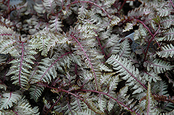 Regal Red Painted Fern (Athyrium nipponicum 'Regal Red') at Green Thumb Garden Centre